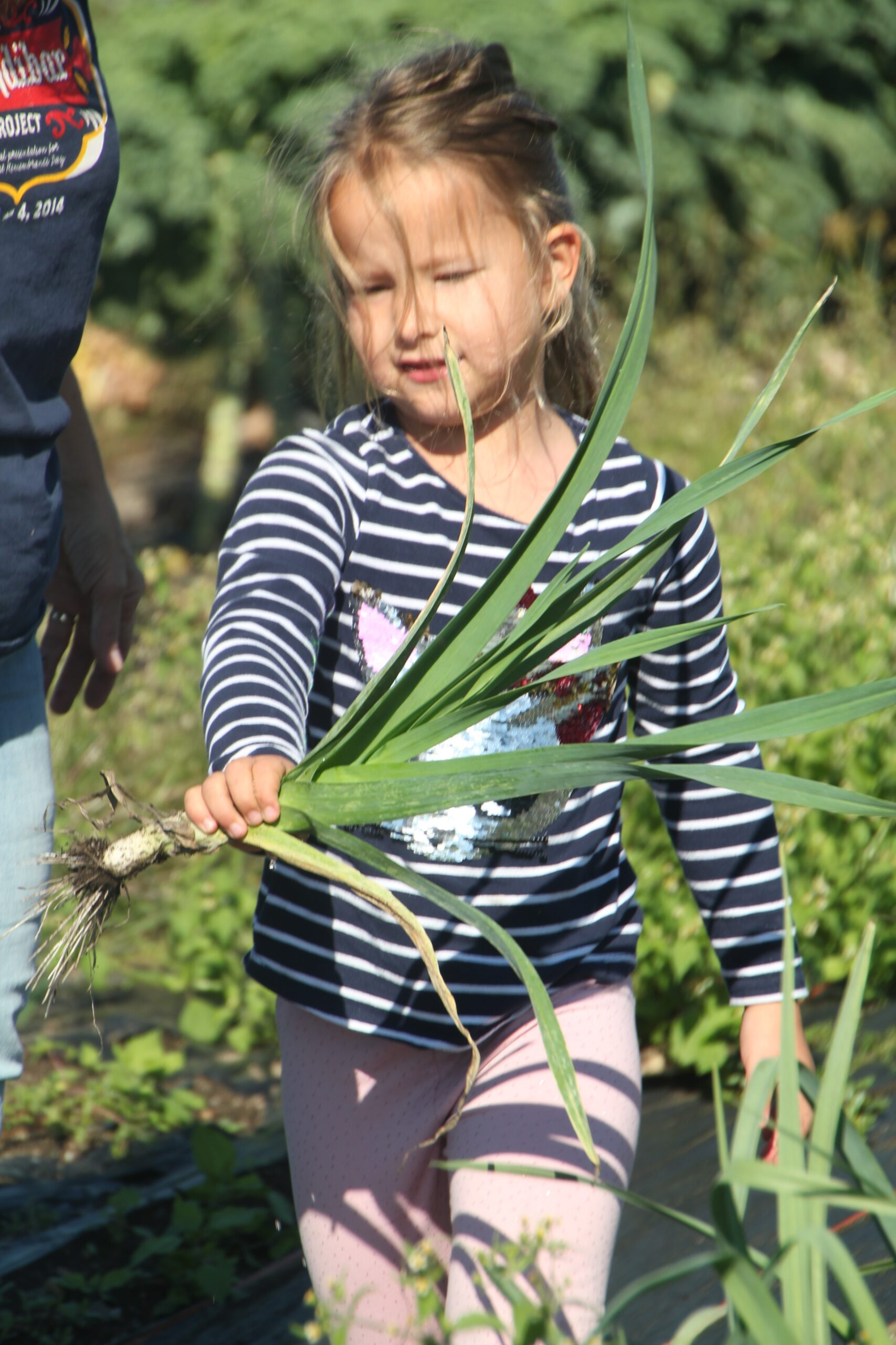 Gleaning in the Fields of Greens & Beans